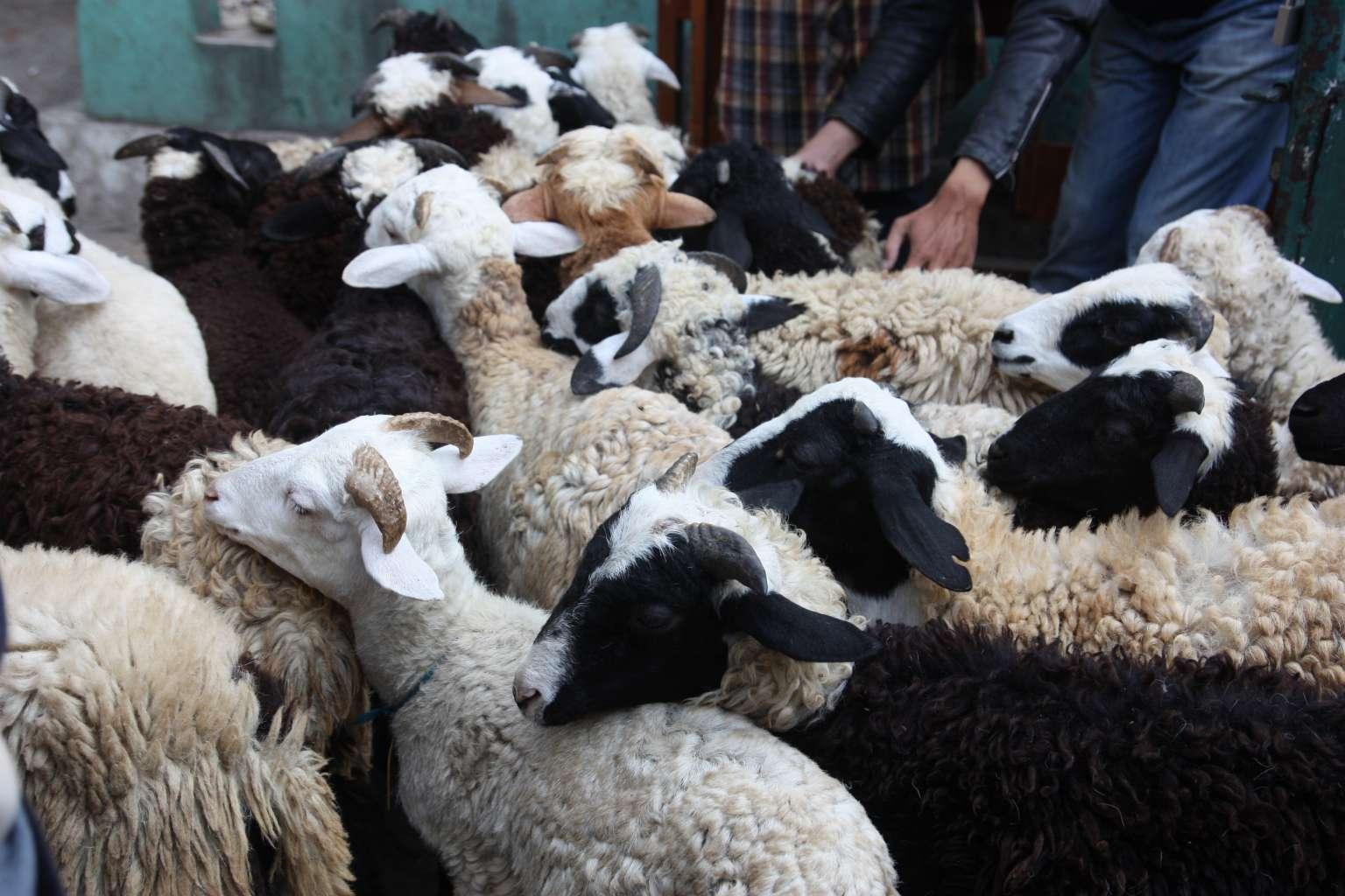 sheeps1.jpg